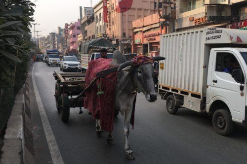 インド旅行 デリー市街地 牛